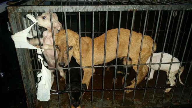 Cães com sinais de maus-tratos são resgatados de suposta ONG em Itapeva, SP