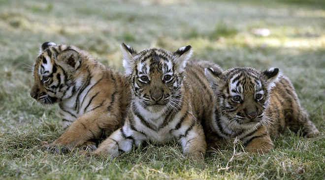 Novas famílias de tigres são encontradas na Tailândia