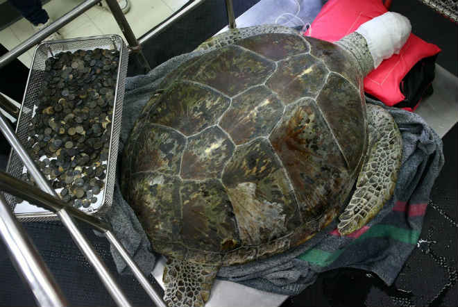 Morre tartaruga que havia ingerido 915 moedas na Tailândia