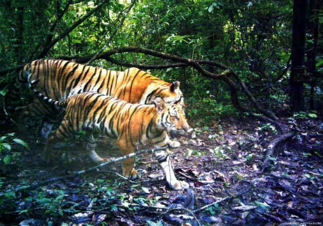 Tigres tailandeses ameaçados de extinção são vistos em floresta e dão esperança a conservacionistas