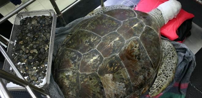 Na Tailândia, veterinários removem 915 moedas de estômago de tartaruga marinha