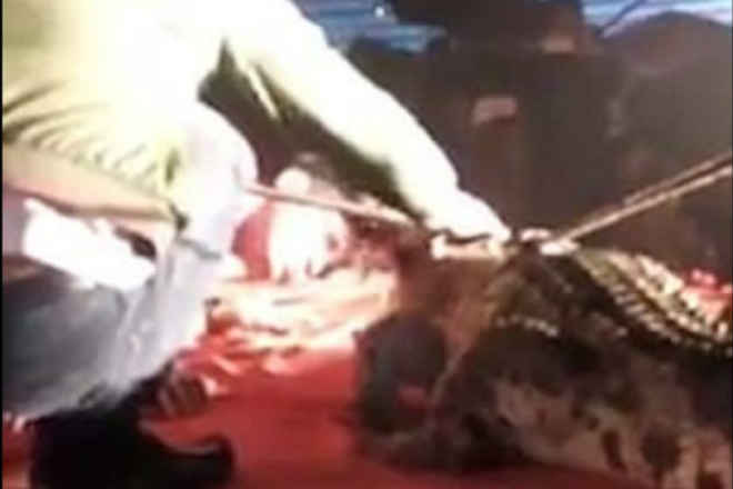 Crocodilo reage a abuso e morde cabeça de treinador durante apresentação em circo