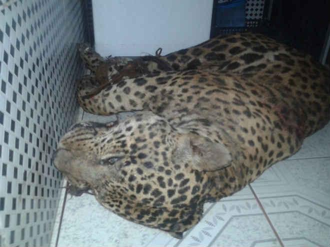 Onça é morta com tiro após atacar gado em fazenda no interior do AM