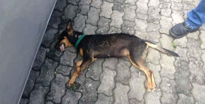 Motorista de vereador mata cachorra atropelada na Câmara Municipal de Manaus (AM) e não presta socorro