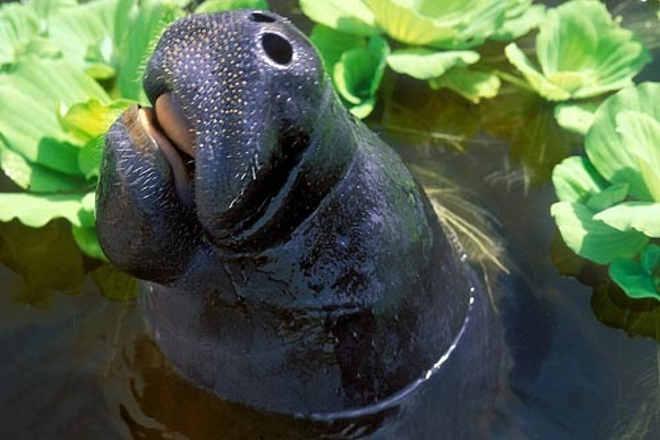 Cinco peixes-bois serão devolvidos à natureza no Amazonas