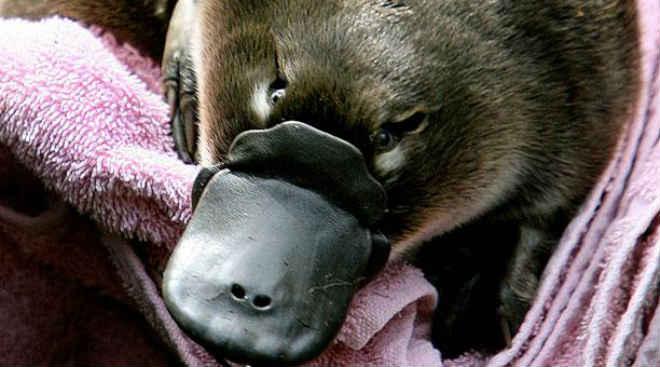 Dois ornitorrincos são decapitados em um parque na Austrália