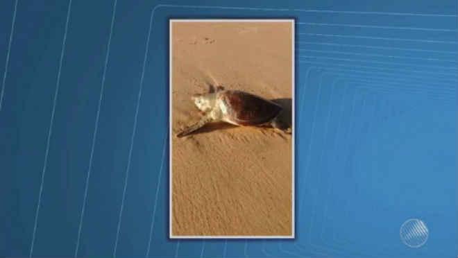 Filhote de tartaruga-verde é encontrado morto em praia de Vilas do Atlântico, em Lauro de Freitas, BA