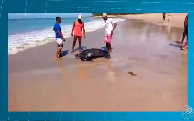 Tartaruga de 1,2 m é encontrada ferida em praia de Vera Cruz, BA