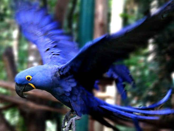 Brasil repatria arara-azul levada ilegalmente para Argentina em 2008