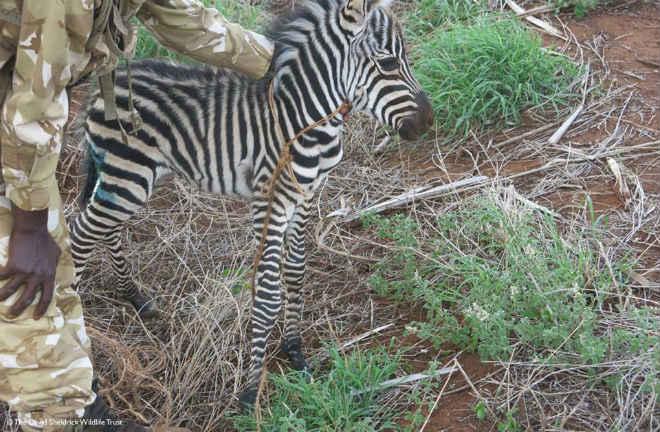 Bebê zebra atacado por cães selvagens e deixado para morrer ganha uma segunda chance milagrosa