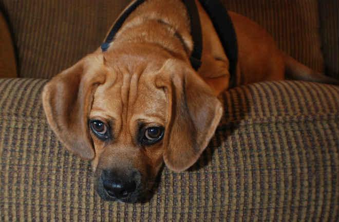 Os cães deixados sozinhos em casa ficam mesmo em sofrimento
