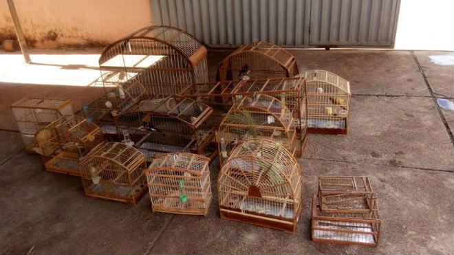 PM apreende 14 pássaros criados irregularmente em Planaltina, DF