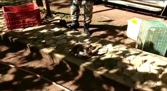Duas jiboias são resgatadas em menos de uma hora no DF; vídeos