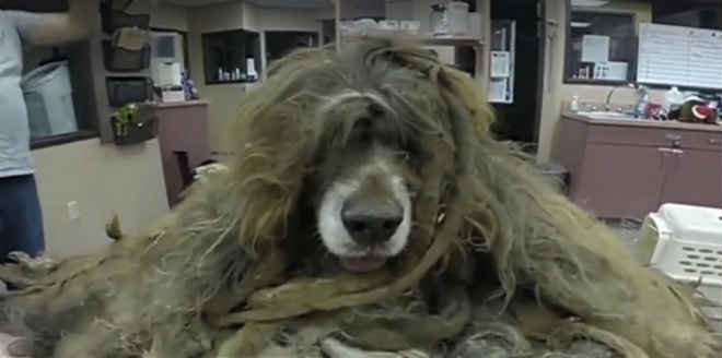 Policiais encontram cadela abandonada de 12 anos com seus pelos completamente emaranhados