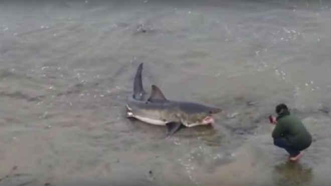 Tubarão branco de três metros fica preso na areia em praia da Califórnia, EUA
