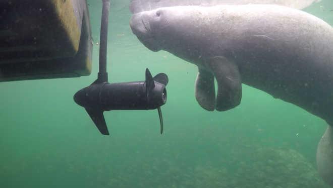 Peixes-boi ficam gravemente feridos devido à colisões com barcos