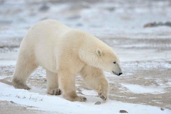 Ursa polar morre após amiga ser transferida do SeaWorld em San Diego, EUA