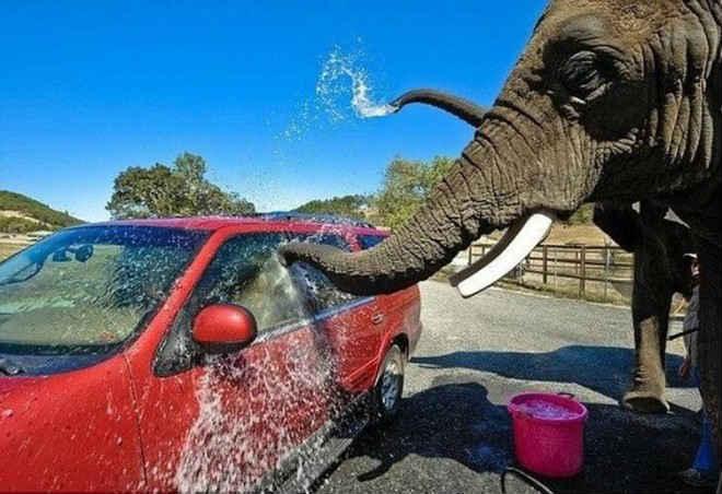 Zoológico nos EUA usa elefantes para lavar carros de turistas