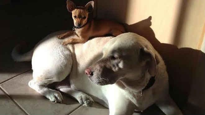 """Labrador fêmea adotada vira """"cama"""" para outros cães pequenos"""