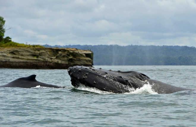 Mortalidade incomum de baleias-jubarte na costa atlântica dos EUA