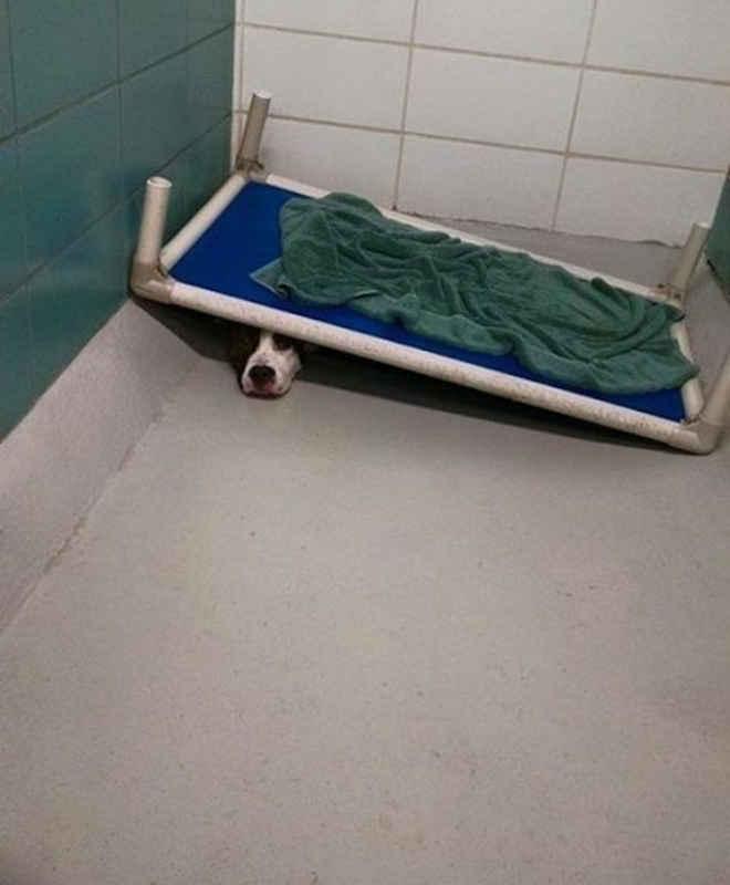 Pitbull amedrontado só ficava embaixo de sua cama neste abrigo, mas agora pode recomeçar sua vida