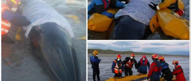 Voluntários salvaram baleia que deu à costa na Escócia