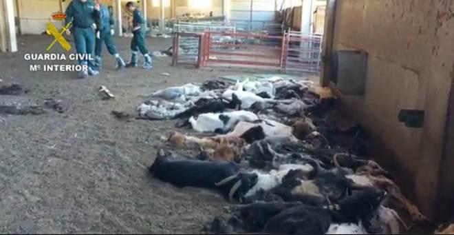 """Espanha: Centenas de cabras mortas à fome. """"Um campo de extermínio animal"""""""