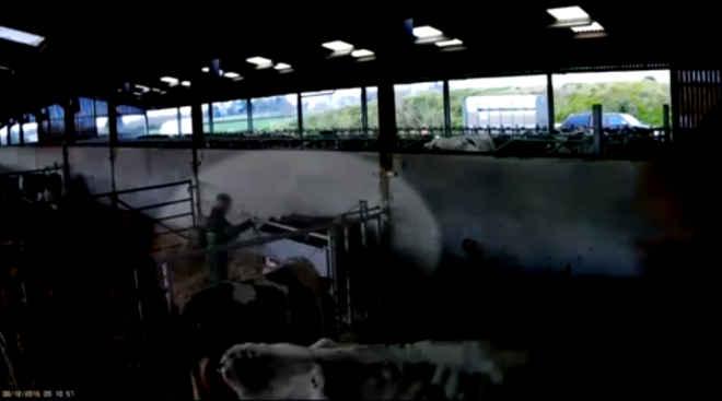 Adolescente filmado a pontapear vacas enfrenta pena de prisão; vídeo