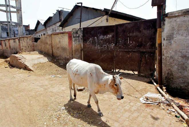 Estado na Índia aprova penas de prisão perpétua para quem matar vacas