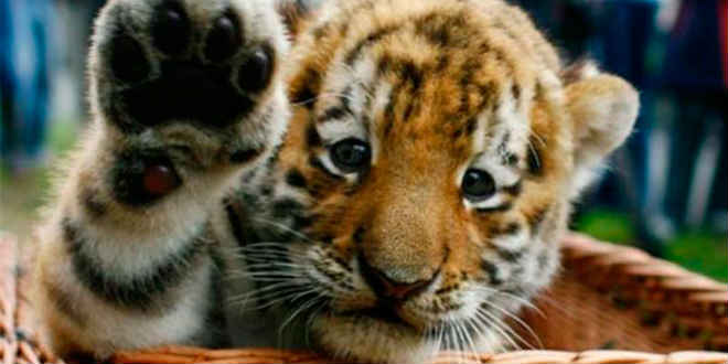 Tigres são resgatados depois de ficarem uma semana dentro de caixa