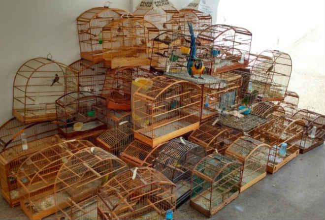 Um dos maiores criadores de pássaros de Guanhães (MG) é detido pela PM