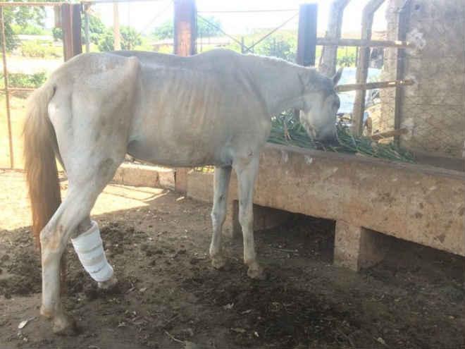 Égua abandonada para morrer se recupera em Governador Valadares, MG