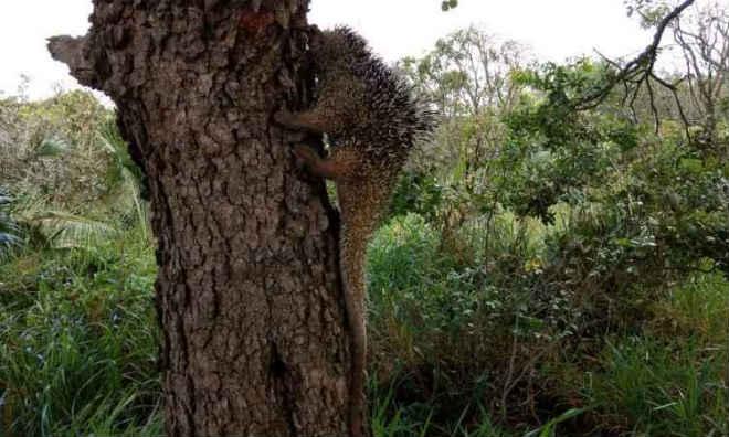 Ouriço-cacheiro 'perdido' em rua de Uberlândia (MG) é resgatado pela PM