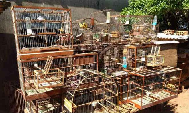 PM localiza rinha de galos em Uberlândia (MG) e 32 pássaros da fauna silvestre