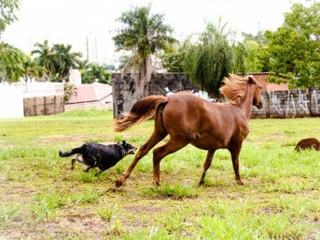Atração em Campo Grande (MS), égua criada com cadela em quintal era o sonho de João