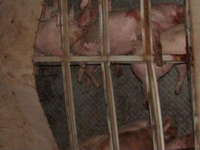 Carreta carregada com porcos tomba e animais morrem na BR-060
