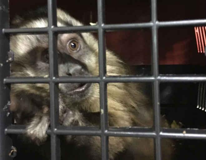 Macaco maltratado é resgatado pela polícia em cidade de MS
