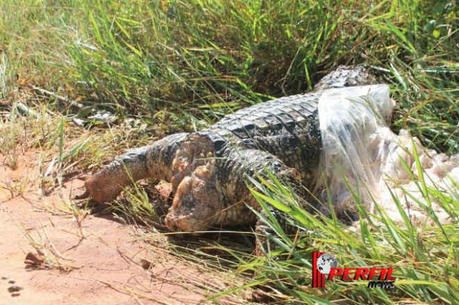 Em Três Lagoas (MT) jacaré é encontrado morto com tiro na cabeça