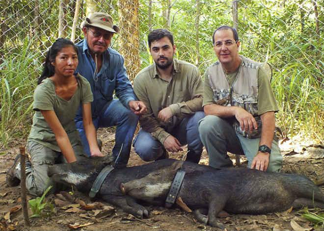 Pesquisadores desenvolvem modelo brasileiro de colares para monitoramento animal