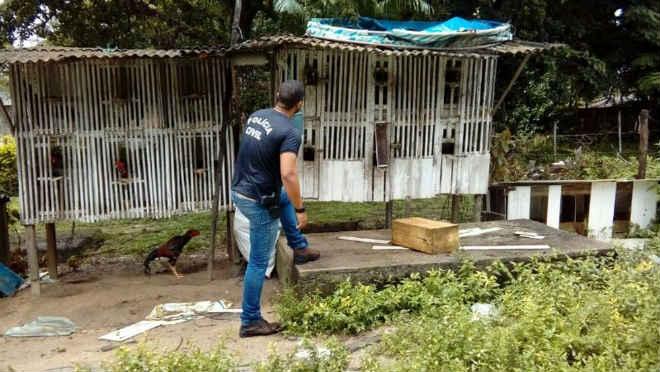 Galos usados em rinha são resgatados em Soure na ilha do Marajó, PA
