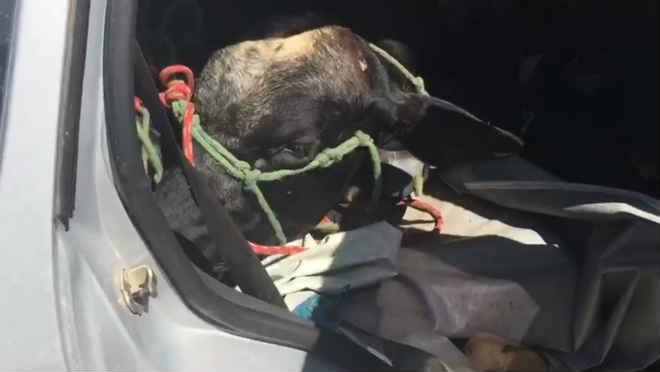 Sequestradores de gado fogem e abandonam boi dentro de carro na Paraíba, diz PM
