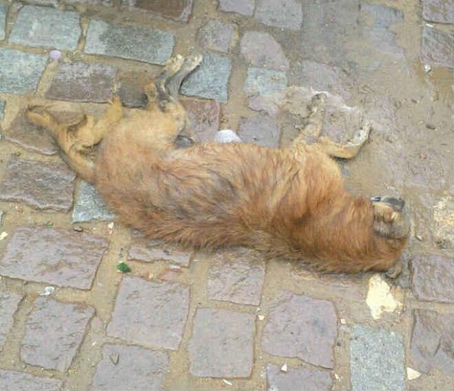 Cachorros e urubus morrem envenenados no distrito de Rainha Isabel, em Bom Conselho, PE