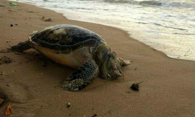 Tartaruga é encontrada morta na Praia do Janga, em Recife, PE