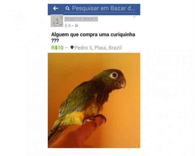 Internauta vende animal silvestre via rede social em Pedro II, PI