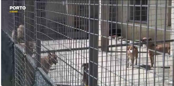 Portugal: Canis lotados obrigam municípios a pagar a associações para acolherem animais abandonados