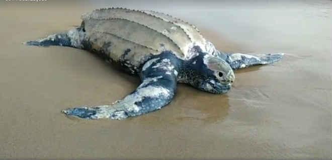 Tartaruga gigante é encontrada na Praia da Marina, em Búzios, no RJ