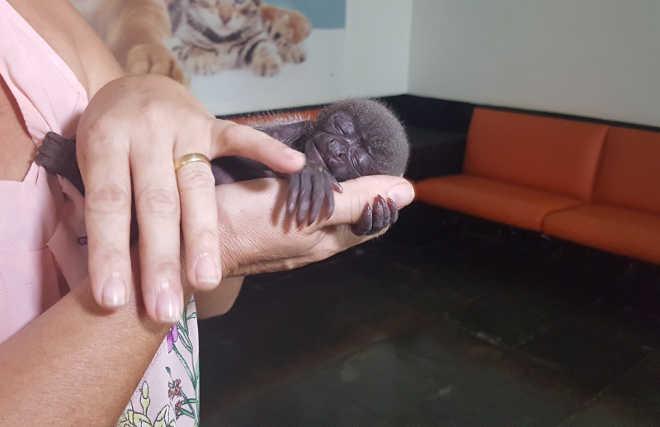 Macaca filhote é encontrada em aldeia e recebe doação de leite humano em RO