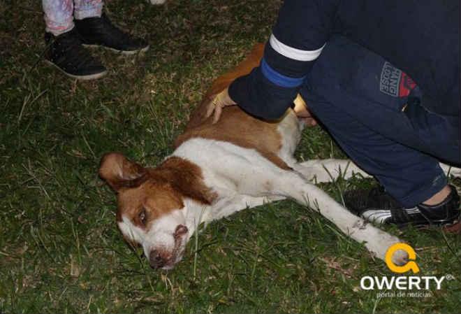 Ong Amigo Bicho resgata cachorro inconsciente vítima de maus-tratos em Dom Pedrito, RS