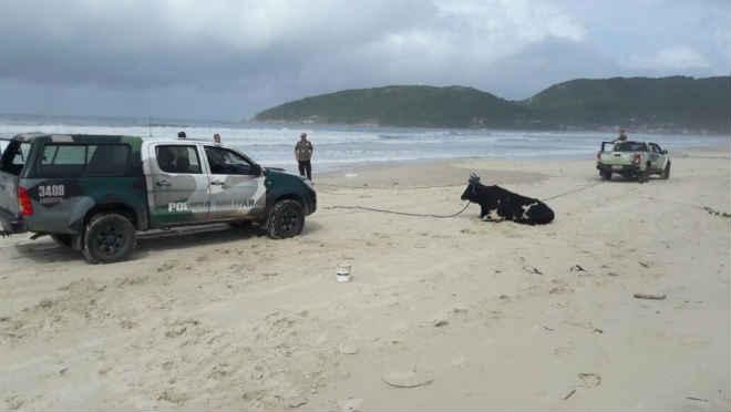 Animal que seria utilizado em farra do boi é encontrado pela polícia na Barra da Lagoa, em Florianópolis, SC