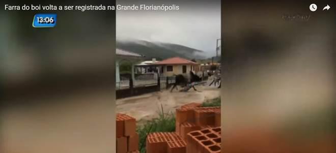 Farra do boi volta a ser registrada na Grande Florianópolis, SC